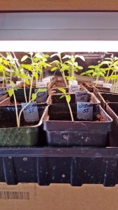 Montana Bowl of Cherries-seedlings in pots and trays