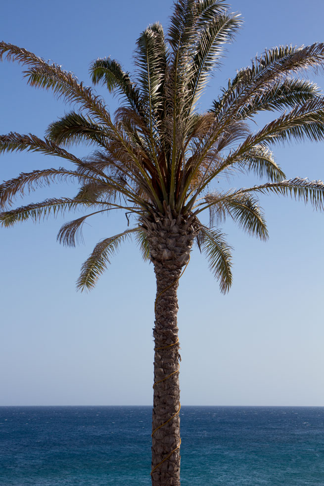 lanzarote palm tree