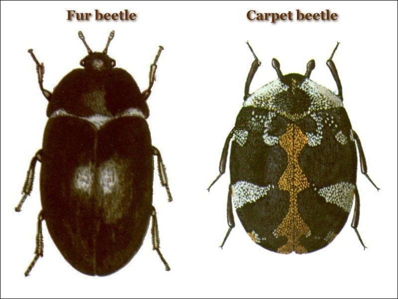 Beetles | PesPro