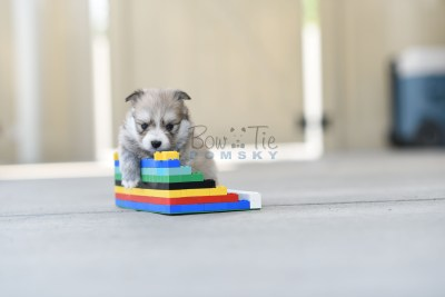 bowtiepomsky.com Puppy Pomsky Pomskies for sale breeder Spokane WA Troble (4)