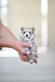 bowtiepomsky.com Puppy Pomsky Pomskies for sale breeder Spokane WA Troble (9)