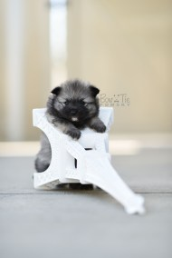 bowtiepomsky.com Puppy Pomsky Pomskies for sale breeder Spokane WA bear (2)