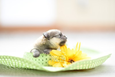 bowtiepomsky.com pomsky pomskies puppy for sale puppies cute fluffy adorable breeder spokane wa designer  (1)