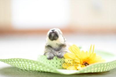 bowtiepomsky.com pomsky pomskies puppy for sale puppies cute fluffy adorable breeder spokane wa designer  (12)