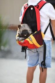 puppy-2-bowtiepomsky.com-Puppy-Pomsky-Pomskies-for-sale-breeder-Spokane-WA(2)