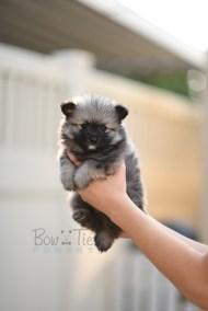 puppy-2-bowtiepomsky.com-Puppy-Pomsky-Pomskies-for-sale-breeder-Spokane-WA(4)