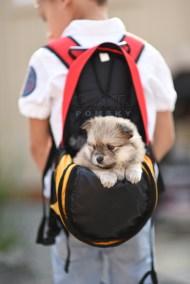 puppy-3-bowtiepomsky.com-Puppy-Pomsky-Pomskies-for-sale-breeder-Spokane-WA(2)