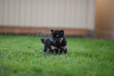 puppy-4-bowtiepomsky.com-Puppy-Pomsky-Pomskies-for-sale-breeder-Spokane-WA(1)