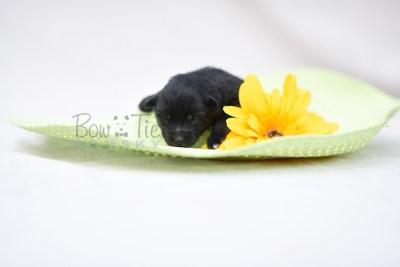 puppy10 BowTiePomsky.com Bowtie Pomsky Puppy For Sale Husky Pomeranian Mini Dog Spokane WA Breeder Blue Eyes Pomskies photo10