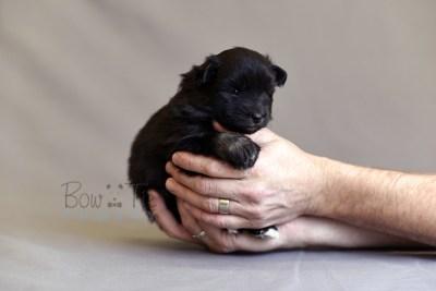 puppy10 BowTiePomsky.com Bowtie Pomsky Puppy For Sale Husky Pomeranian Mini Dog Spokane WA Breeder Blue Eyes Pomskies photo13