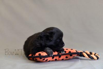 puppy10 BowTiePomsky.com Bowtie Pomsky Puppy For Sale Husky Pomeranian Mini Dog Spokane WA Breeder Blue Eyes Pomskies photo17
