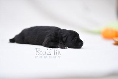 puppy10 BowTiePomsky.com Bowtie Pomsky Puppy For Sale Husky Pomeranian Mini Dog Spokane WA Breeder Blue Eyes Pomskies photo4