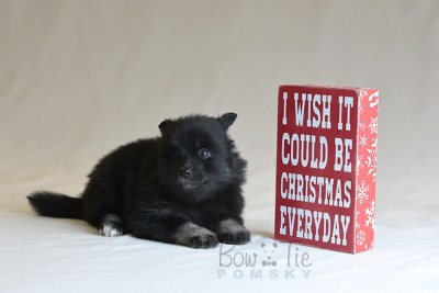 puppy10 BowTiePomsky.com Bowtie Pomsky Puppy For Sale Husky Pomeranian Mini Dog Spokane WA Breeder Blue Eyes Pomskies photo43