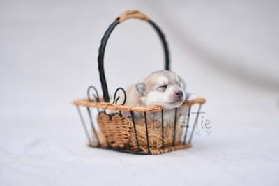 puppy11 BowTiePomsky.com Bowtie Pomsky Puppy For Sale Husky Pomeranian Mini Dog Spokane WA Breeder Blue Eyes Pomskies photo10