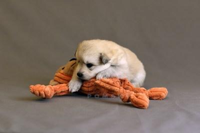 puppy11 BowTiePomsky.com Bowtie Pomsky Puppy For Sale Husky Pomeranian Mini Dog Spokane WA Breeder Blue Eyes Pomskies photo23