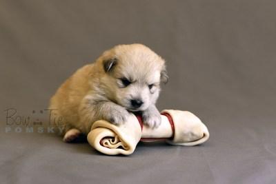 puppy11 BowTiePomsky.com Bowtie Pomsky Puppy For Sale Husky Pomeranian Mini Dog Spokane WA Breeder Blue Eyes Pomskies photo26
