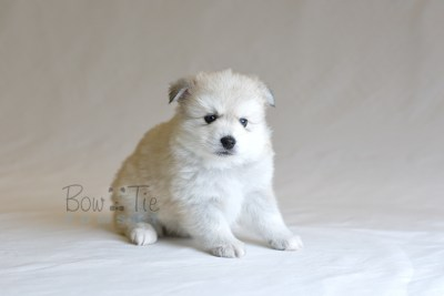 puppy11 BowTiePomsky.com Bowtie Pomsky Puppy For Sale Husky Pomeranian Mini Dog Spokane WA Breeder Blue Eyes Pomskies photo37