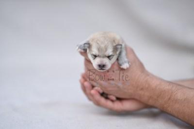 puppy11 BowTiePomsky.com Bowtie Pomsky Puppy For Sale Husky Pomeranian Mini Dog Spokane WA Breeder Blue Eyes Pomskies photo4