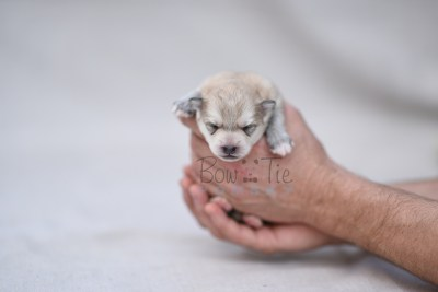 puppy11 BowTiePomsky.com Bowtie Pomsky Puppy For Sale Husky Pomeranian Mini Dog Spokane WA Breeder Blue Eyes Pomskies photo4