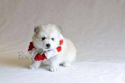 puppy11 BowTiePomsky.com Bowtie Pomsky Puppy For Sale Husky Pomeranian Mini Dog Spokane WA Breeder Blue Eyes Pomskies photo41