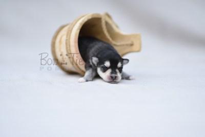 puppy12 BowTiePomsky.com Bowtie Pomsky Puppy For Sale Husky Pomeranian Mini Dog Spokane WA Breeder Blue Eyes Pomskies photo10