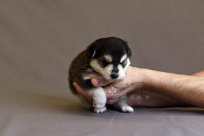 puppy12 BowTiePomsky.com Bowtie Pomsky Puppy For Sale Husky Pomeranian Mini Dog Spokane WA Breeder Blue Eyes Pomskies photo13