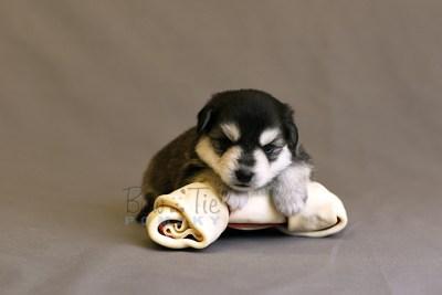 puppy12 BowTiePomsky.com Bowtie Pomsky Puppy For Sale Husky Pomeranian Mini Dog Spokane WA Breeder Blue Eyes Pomskies photo18
