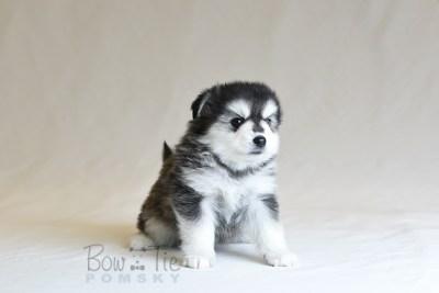 puppy12 BowTiePomsky.com Bowtie Pomsky Puppy For Sale Husky Pomeranian Mini Dog Spokane WA Breeder Blue Eyes Pomskies photo33
