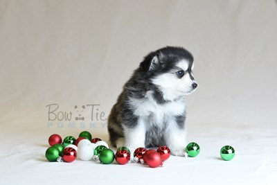 puppy12 BowTiePomsky.com Bowtie Pomsky Puppy For Sale Husky Pomeranian Mini Dog Spokane WA Breeder Blue Eyes Pomskies photo44