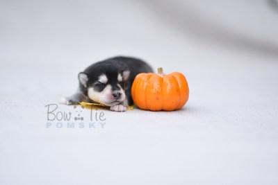 puppy12 BowTiePomsky.com Bowtie Pomsky Puppy For Sale Husky Pomeranian Mini Dog Spokane WA Breeder Blue Eyes Pomskies photo8