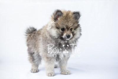 puppy13 BowTiePomsky.com Bowtie Pomsky Puppy For Sale Husky Pomeranian Mini Dog Spokane WA Breeder Blue Eyes Pomskies photo1