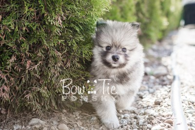 puppy13 BowTiePomsky.com Bowtie Pomsky Puppy For Sale Husky Pomeranian Mini Dog Spokane WA Breeder Blue Eyes Pomskies photo11