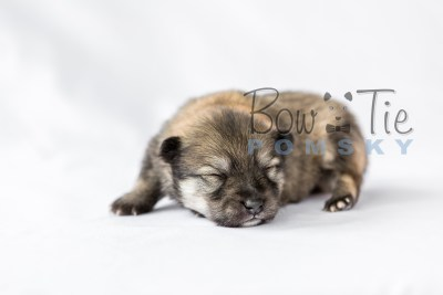 puppy13 BowTiePomsky.com Bowtie Pomsky Puppy For Sale Husky Pomeranian Mini Dog Spokane WA Breeder Blue Eyes Pomskies photo16
