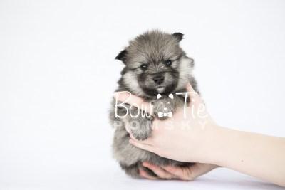 puppy13 BowTiePomsky.com Bowtie Pomsky Puppy For Sale Husky Pomeranian Mini Dog Spokane WA Breeder Blue Eyes Pomskies photo23