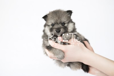 puppy13 BowTiePomsky.com Bowtie Pomsky Puppy For Sale Husky Pomeranian Mini Dog Spokane WA Breeder Blue Eyes Pomskies photo25