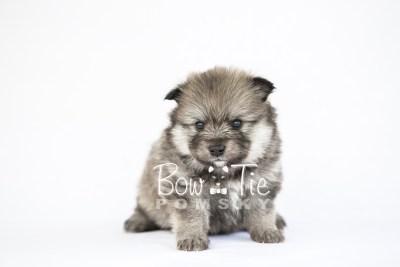 puppy13 BowTiePomsky.com Bowtie Pomsky Puppy For Sale Husky Pomeranian Mini Dog Spokane WA Breeder Blue Eyes Pomskies photo26