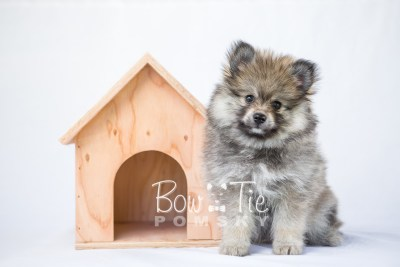 puppy13 BowTiePomsky.com Bowtie Pomsky Puppy For Sale Husky Pomeranian Mini Dog Spokane WA Breeder Blue Eyes Pomskies photo3