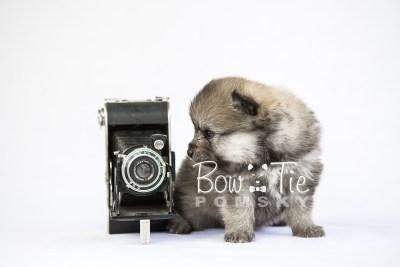 puppy13 BowTiePomsky.com Bowtie Pomsky Puppy For Sale Husky Pomeranian Mini Dog Spokane WA Breeder Blue Eyes Pomskies photo30