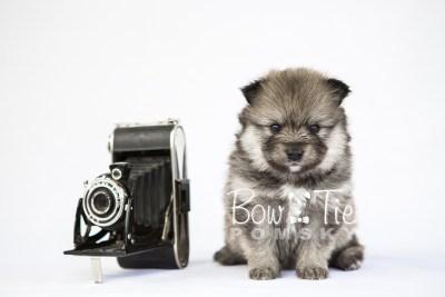 puppy13 BowTiePomsky.com Bowtie Pomsky Puppy For Sale Husky Pomeranian Mini Dog Spokane WA Breeder Blue Eyes Pomskies photo32