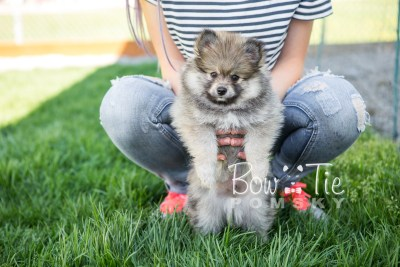 puppy13 BowTiePomsky.com Bowtie Pomsky Puppy For Sale Husky Pomeranian Mini Dog Spokane WA Breeder Blue Eyes Pomskies photo4