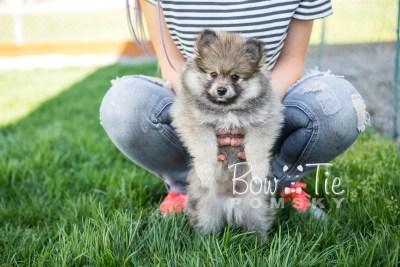 puppy13 BowTiePomsky.com Bowtie Pomsky Puppy For Sale Husky Pomeranian Mini Dog Spokane WA Breeder Blue Eyes Pomskies photo4
