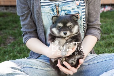 puppy14 BowTiePomsky.com Bowtie Pomsky Puppy For Sale Husky Pomeranian Mini Dog Spokane WA Breeder Blue Eyes Pomskies photo1