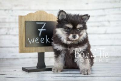 puppy14 BowTiePomsky.com Bowtie Pomsky Puppy For Sale Husky Pomeranian Mini Dog Spokane WA Breeder Blue Eyes Pomskies photo11