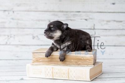 puppy14 BowTiePomsky.com Bowtie Pomsky Puppy For Sale Husky Pomeranian Mini Dog Spokane WA Breeder Blue Eyes Pomskies photo14