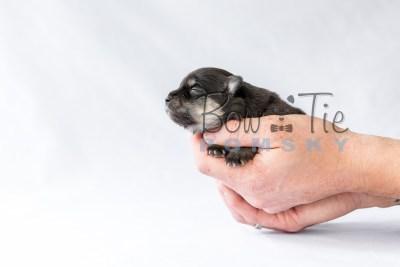 puppy14 BowTiePomsky.com Bowtie Pomsky Puppy For Sale Husky Pomeranian Mini Dog Spokane WA Breeder Blue Eyes Pomskies photo18