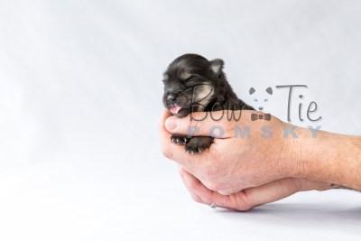 puppy14 BowTiePomsky.com Bowtie Pomsky Puppy For Sale Husky Pomeranian Mini Dog Spokane WA Breeder Blue Eyes Pomskies photo19