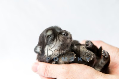 puppy14 BowTiePomsky.com Bowtie Pomsky Puppy For Sale Husky Pomeranian Mini Dog Spokane WA Breeder Blue Eyes Pomskies photo21