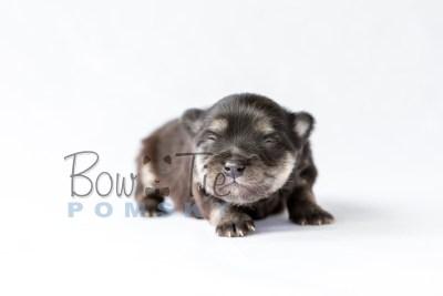 puppy14 BowTiePomsky.com Bowtie Pomsky Puppy For Sale Husky Pomeranian Mini Dog Spokane WA Breeder Blue Eyes Pomskies photo22