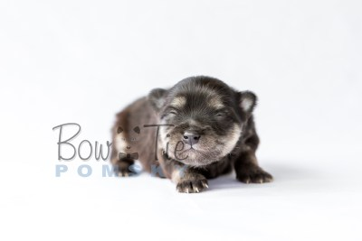 puppy14 BowTiePomsky.com Bowtie Pomsky Puppy For Sale Husky Pomeranian Mini Dog Spokane WA Breeder Blue Eyes Pomskies photo22