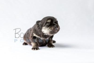 puppy14 BowTiePomsky.com Bowtie Pomsky Puppy For Sale Husky Pomeranian Mini Dog Spokane WA Breeder Blue Eyes Pomskies photo24